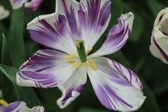 Закройте вверх сердца белого и фиолетового тюльпана Стоковые Изображения RF