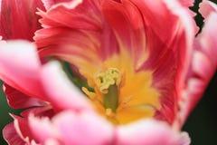 Закройте вверх сердца красного тюльпана с розовым и белым highlig стоковое фото rf