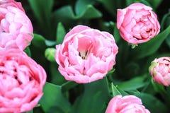 Закройте вверх сердца розового тюльпана стоковое фото rf