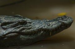 Закройте вверх сиамского крокодила стоковые фотографии rf