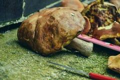 Закройте вверх смешанных грибов, подготовки для сушить Куча различных грибов разнообразий для супа Свежая сжатая в древесинах Стоковое Изображение