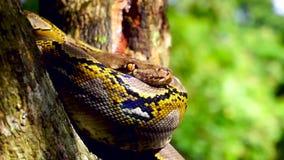 закройте вверх смотреть на змейку Phyton остатки на дереве с сигналят внутри движение сток-видео