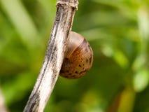 Закройте вверх снаружи раковины прикрепленного к iso коричневого цвета ветви пустому Стоковая Фотография RF