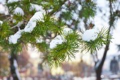 Закройте вверх снега на сосне Стоковые Фото