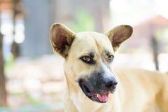 Закройте вверх собаки коричневой стороны собаки тайской Стоковое Изображение