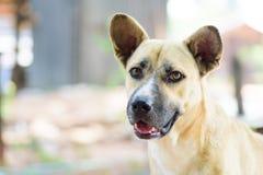 Закройте вверх собаки коричневой стороны собаки тайской Стоковая Фотография RF