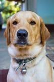 Закройте вверх собаки Стоковая Фотография