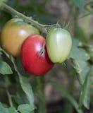 Закройте вверх созрейте томаты на ветви Стоковая Фотография RF