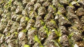 Закройте вверх сосны ` s Baikushev расшивы в горах Pirin в Болгарии стоковое фото