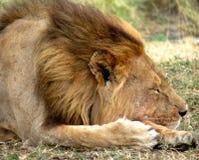 Закройте вверх спать льва Стоковое Изображение RF