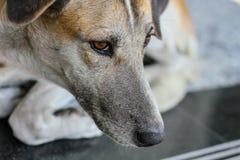 Закройте вверх, сторона собаки лежа на поле Стоковые Изображения RF