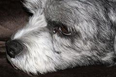 Закройте вверх стороны милой черно-белой собаки Cavachon Стоковая Фотография