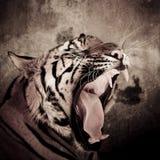 Закройте вверх стороны тигра с чуть-чуть зубами тигра Бенгалии стоковые фото