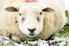 Закройте вверх стороны ` s овец Стоковые Фото