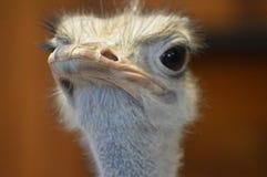 Закройте вверх страуса Стоковая Фотография