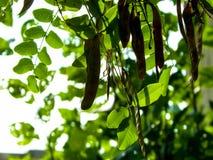 Закройте вверх стручков дерева pseudoacacia Robinia стоковое изображение