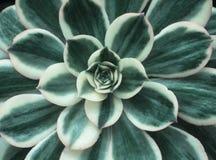 Закройте вверх суккулентных цветка и листьев Стоковая Фотография RF
