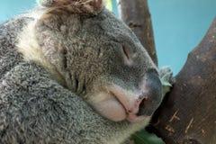 Закройте вверх съемки головы коалы Стоковое Изображение
