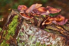 Закройте вверх съестных пластинчатых грибов меда грибов в лесе на зеленой предпосылке стоковые фотографии rf