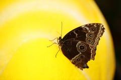 Закройте вверх с бабочкой на желтой предпосылке Стоковое Фото