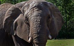 Закройте вверх слона Стоковое Изображение RF