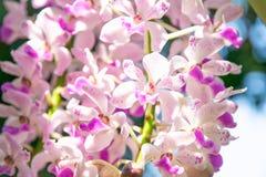 Закройте вверх тайских орхидеи или gigantea Rhynchostylis стоковая фотография rf
