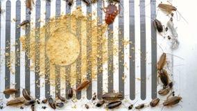 Закройте вверх тараканов борясь на стикере или улавливателе с приманками видеоматериал