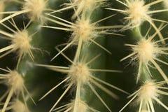 Закройте вверх текстуры терниев кактуса длинной стоковые изображения