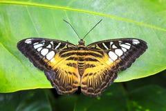 Закройте вверх тропической бабочки клипера, Parthenos sylvia, sp стоковые фотографии rf