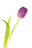 Закройте вверх тюльпана сирени - изолированного на белой предпосылке Стоковая Фотография RF