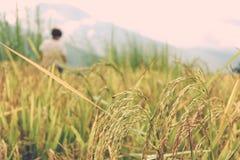 Закройте вверх урожаев риса в поле около Тхимпху, Бутана Стоковые Фотографии RF