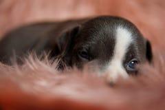 Закройте вверх уставшего щенка Amstaff сонно смотря вокруг стоковые фотографии rf