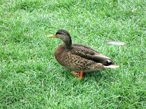 Закройте вверх утки стоит на своих лапках в траве Взгляд со стороны Рядом перо стоковое фото