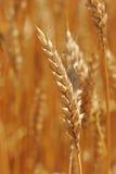 Закройте вверх уха пшеницы Стоковая Фотография RF
