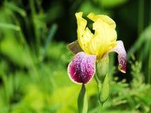 Закройте вверх фиолетовых цветков японской радужки Стоковая Фотография RF