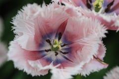 Закройте вверх фиолетового и голубого сердца белого тюльпана с cren стоковая фотография rf