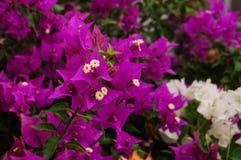 Закройте вверх фиолетовой бугинвилии Стоковое фото RF