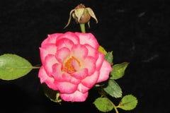 Закройте вверх фиолетовой розы стоковая фотография