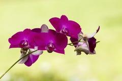 Закройте вверх фиолетовых и белых цветков орхидеи в естественном зеленом gar Стоковые Изображения RF