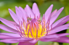 Закройте вверх фиолетовых лотоса и пчелы Стоковые Фотографии RF