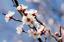 Закройте вверх хворостины дерева абрикоса цветения Стоковое Фото