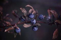 Закройте вверх хворостины с ягодами стоковое фото