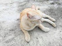 Закройте вверх цвета милого азиатского кота русого лежа на конкретном поле Стоковое Изображение RF