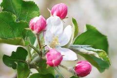 Закройте вверх цветения Яблока, цветков весны стоковые фото