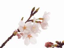 Закройте вверх цветеня цветения вишневого дерева Yoshino полностью Стоковые Изображения