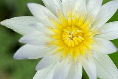 Закройте вверх цветка белого лотоса с желтым цветнем на зеленых лист стоковое фото