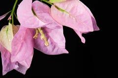 Закройте вверх цветка бугинвилии Стоковое Изображение RF