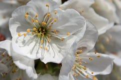Закройте вверх цветка вишни vignola, Моденаа стоковые изображения rf