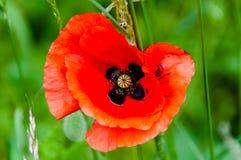 Закройте вверх цветка мака Стоковые Изображения RF