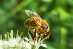 Закройте вверх цветка пчелы меда опыляя в саде Взгляд детали европейской пчелы опыляет цветок на временени Стоковые Изображения